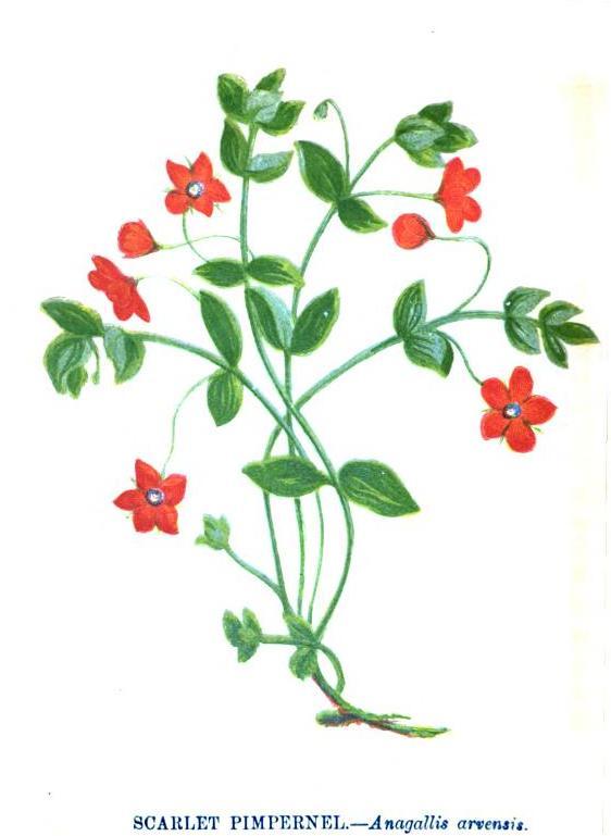 Scarlet_Pimpernel-Anagallis_arvensis