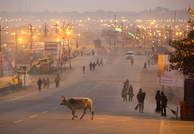 A cow crosses a road past municipal sweepers cleaning a road