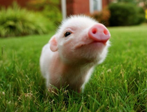pig_0